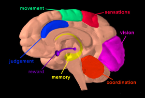 A diagram showing the various parts of brain affect by drug usage.  Source: NIDA (National Institute for Drug Addiction)