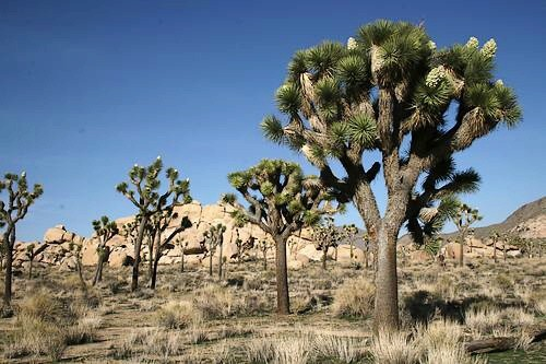 Joshua Tree National Park, next to Yucca Valley, is a reason tourists should visit, not pot stores.